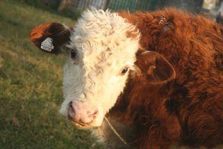 Cow 2